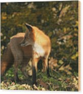 Red Fox In Shadows Wood Print