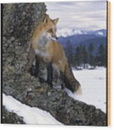 Red Fox In The Mountains Wood Print