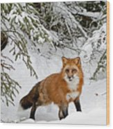 Red Fox In Winter Wood Print