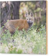 Red Fox Kit Looking For Mom Wood Print