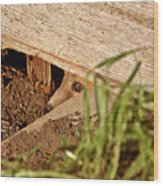 Red Fox Kit Peaking Out From Den Under Old Granary Wood Print
