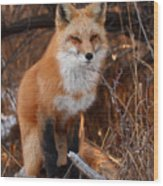 Red Fox Pausing Atop Log Wood Print by Max Allen
