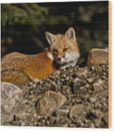 Red Fox Pictures 126 Wood Print