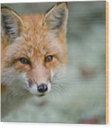 Red Fox Pictures 146 Wood Print