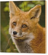Red Fox Pictures 155 Wood Print