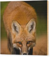 Red Fox Pictures 161 Wood Print