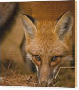 Red Fox Pictures 162 Wood Print