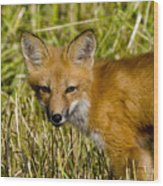 Red Fox Pictures 34 Wood Print