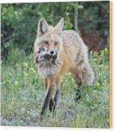Red Fox Vixen Brings Home A Meal Wood Print