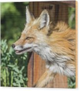 Red Fox Vixen On The Hunt Wood Print