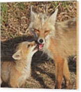 Red Fox Vixen With Pup On Hecla Island In Manitoba Wood Print