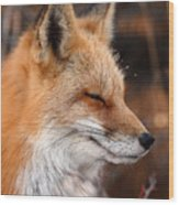 Red Fox With Ice Formed On Brow Wood Print