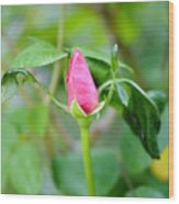 Red Garden Rose Bud Wood Print