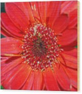 Red Gerber Daisy Wood Print