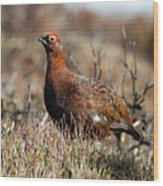 Red Grouse Wood Print
