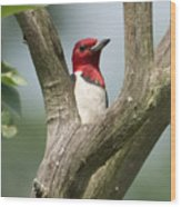 Red-headed Woodpecker Wood Print