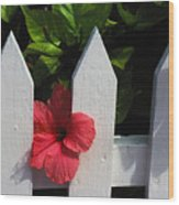 Red Hibiscus And White Fence Wood Print