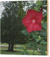 Red Hibiscus Highlights A Scene On The River Wood Print