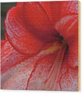 Red Hippeastrum Charisma Wood Print