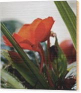 Red Impatiens Wood Print