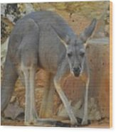 Red Kangaroo Wood Print