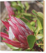 Red King Protea Bud Wood Print