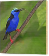 Red-legged Honeycreeper Wood Print