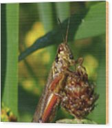 Red-legged Locust Wood Print