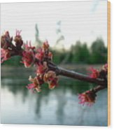 Red Maple Buds At Dawn Wood Print