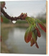 Red Maple Seed Pods At Dawn Wood Print