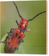 Red Milkweed Beetle Wood Print