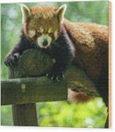 Red Panda Ailurus Fulgens Jerez De La Frontera Spain Wood Print