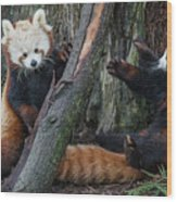 Red Panda Cubs At Play Wood Print