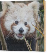 Red Panda Wonder Wood Print