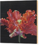 Red Parrot Tulip - Oils Wood Print