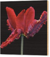 Red Parrot Tulip Wood Print