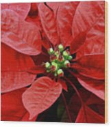 Red Poinsettia - Christmas Flower Wood Print
