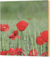 Red Poppy Flower And Green Wheat Nature Spring Scene Wood Print
