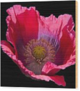 Red Poppy On Blk Velvet Wood Print