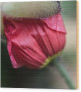 Red Poppy Sneaking Out Wood Print