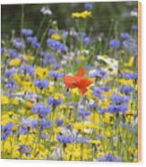 One Red Poppy Amongst The Wildflowers Wood Print