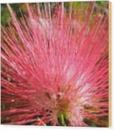 Red Powder Puff Tropical Flower Wood Print