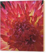 Red Purple Dahlia Flower Summer Dahlia Garden Baslee Troutman Wood Print