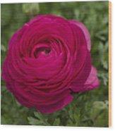 Red Ranunculus Wood Print