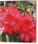 Red Rhodie Wood Print