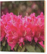 Red Rhododendron Flowers At Floriade, Canberra, Australia. Wood Print