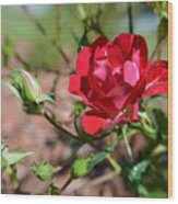 Red Rose And Buds Wood Print