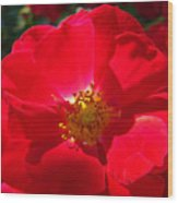 Red Rose Art Print Sunlit Roses Botanical Giclee Baslee Troutman Wood Print