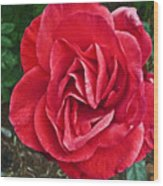 Red Rose F135 Wood Print