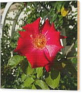 Red Rose In Summer Wood Print